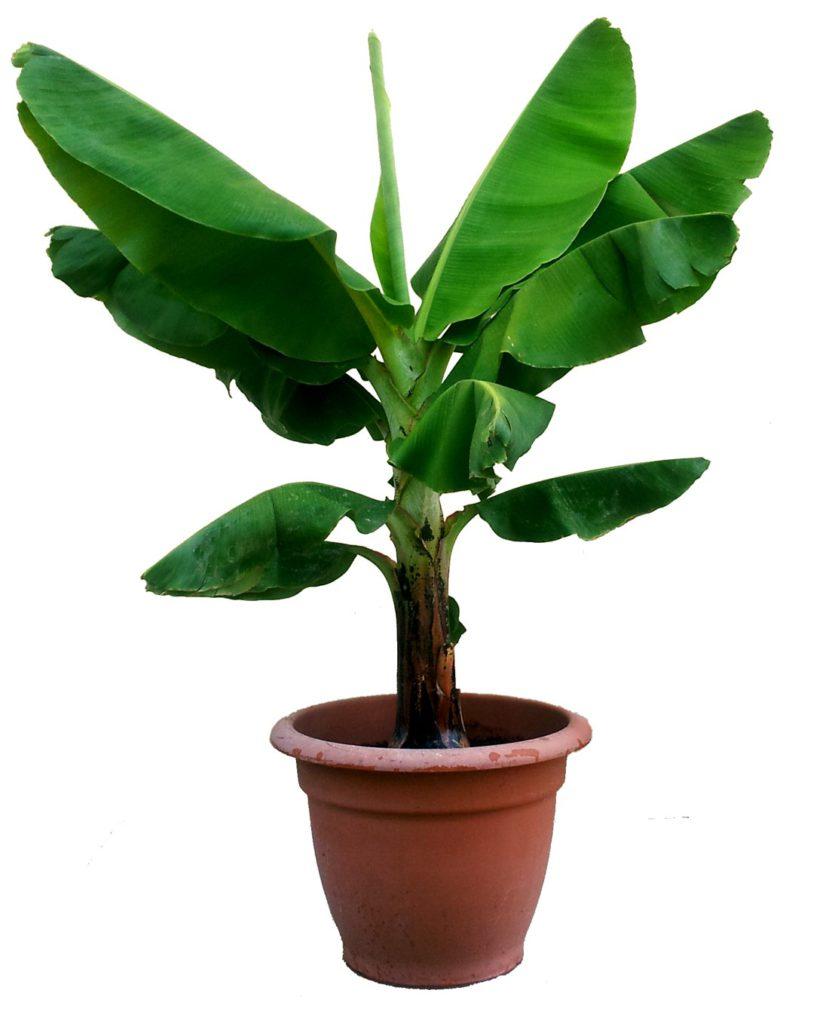Alocasia, ook olifantsoor genoemd