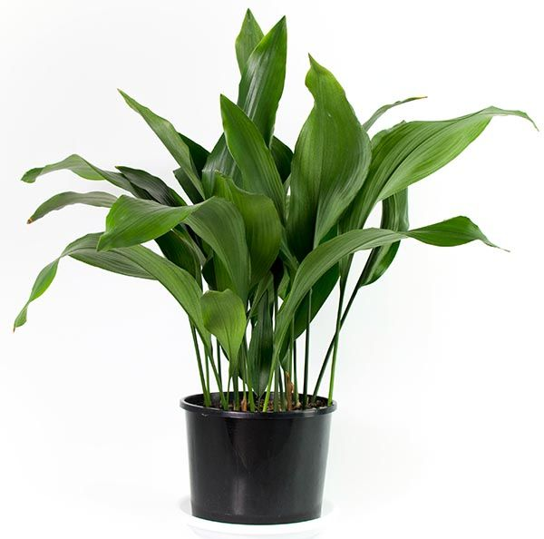 Aspidistra elatior of kwartjesplant